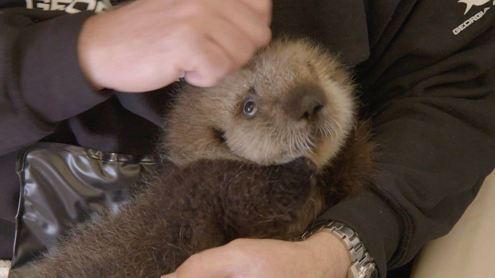 Two rescued baby sea otters find forever home at Georgia Aquarium