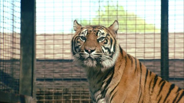 Zoo worker hospitalized after tiger attack