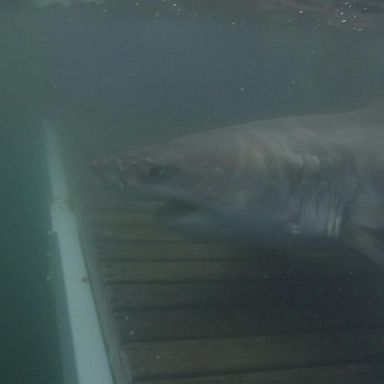 Researchers look at spike in shark sightings | GMA