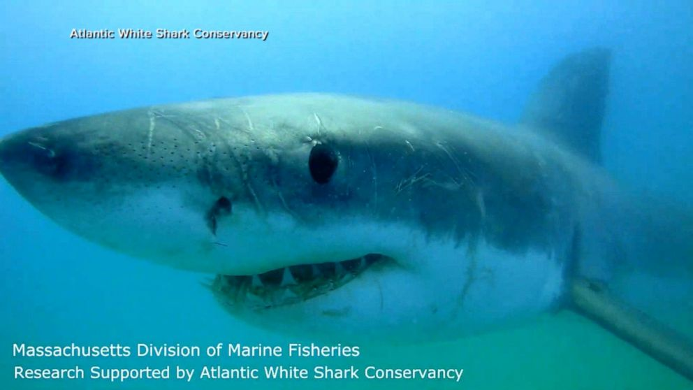 10-foot great white shark detected off New Jersey Video - ABC News