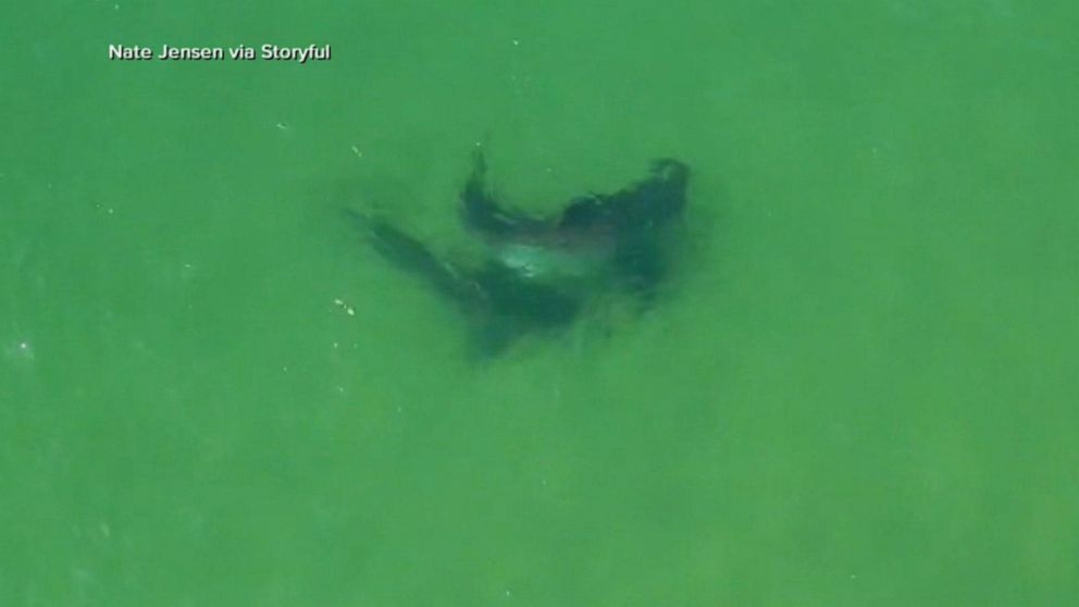 2 great white sharks seen off Cape Cod