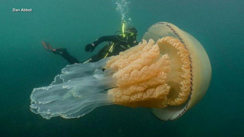 Rare, human-sized jellyfish spotted off UK coast