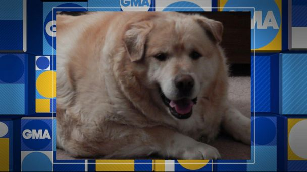 Meet the golden retriever who lost 100 pounds