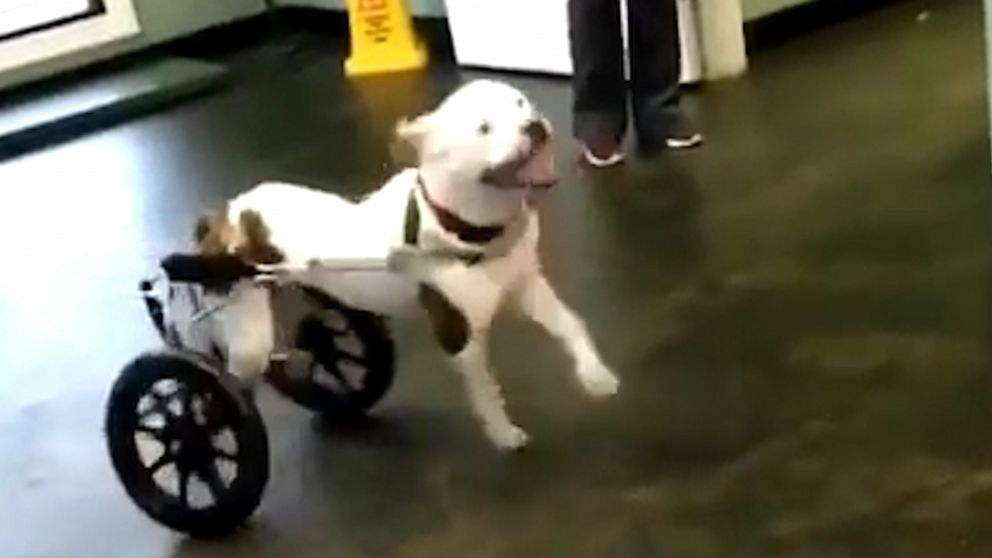 VIDEO: This dog ran in her wheelchair for the first time and she cant control her excitement?