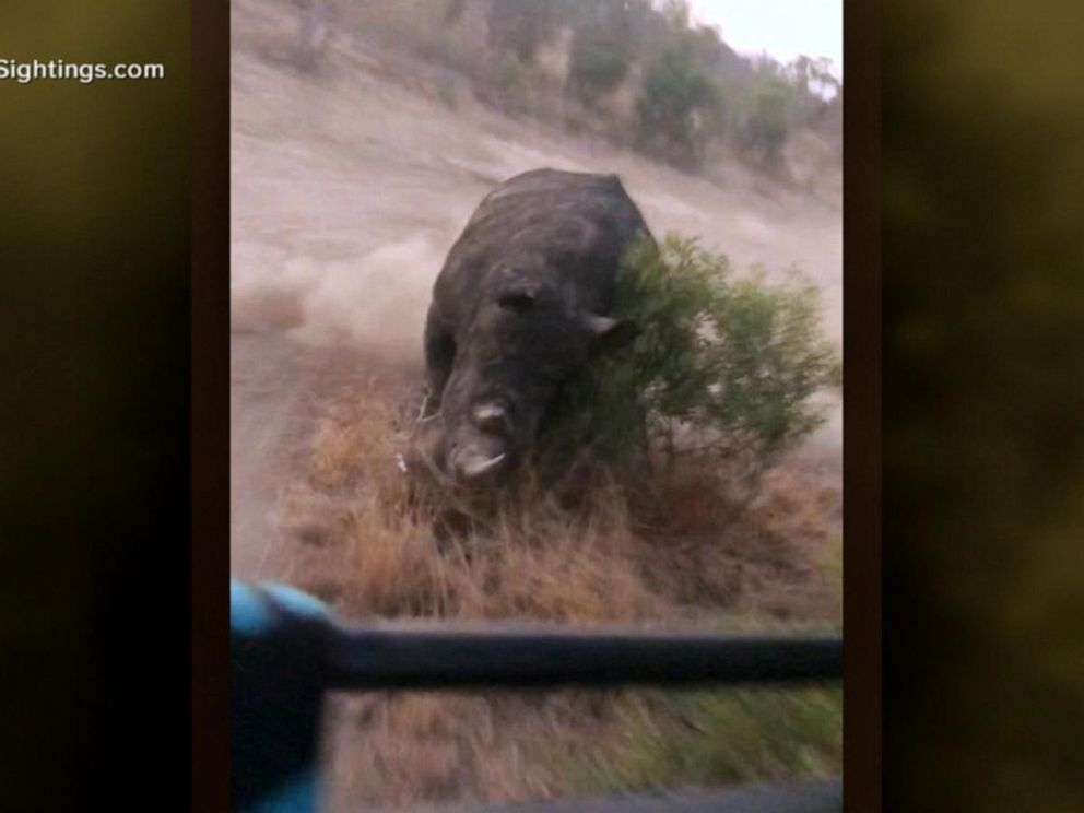VIDEO: Rhino gives chase to tourists on safari