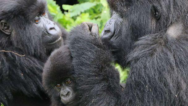 The ultimate bucket list adventure: Trekking to see the mountain gorillas of Rwanda