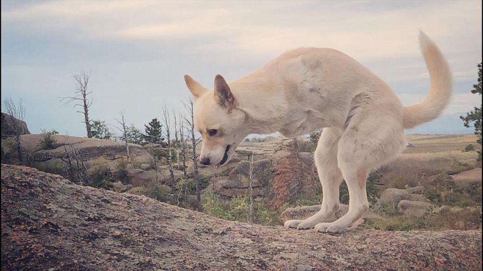 VIDEO: Two-legged dog looks just like a baby kangaroo