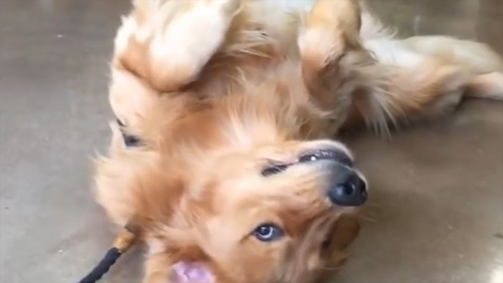 Golden Retriever does not want to leave the pet store