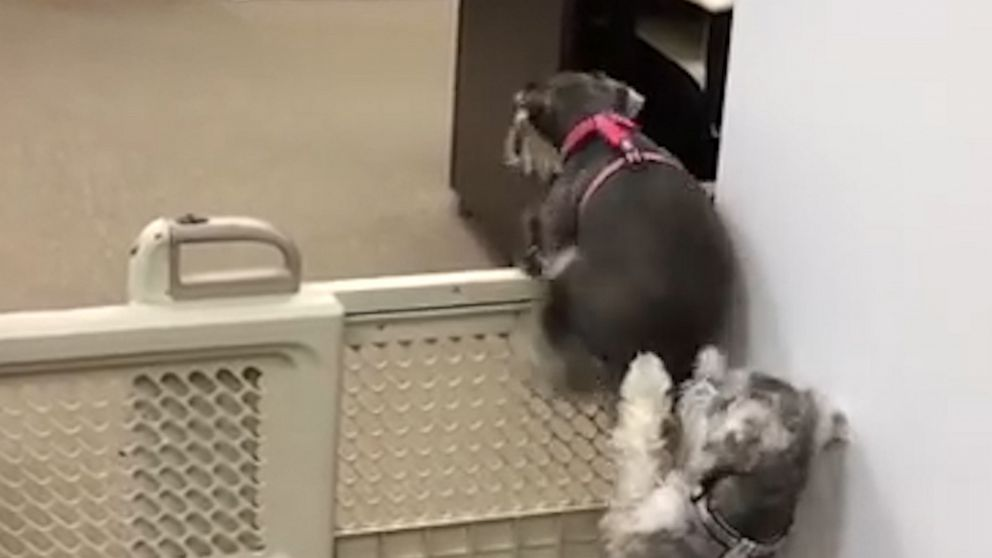 Dog helps puppy escape pet gate by lending a helping paw