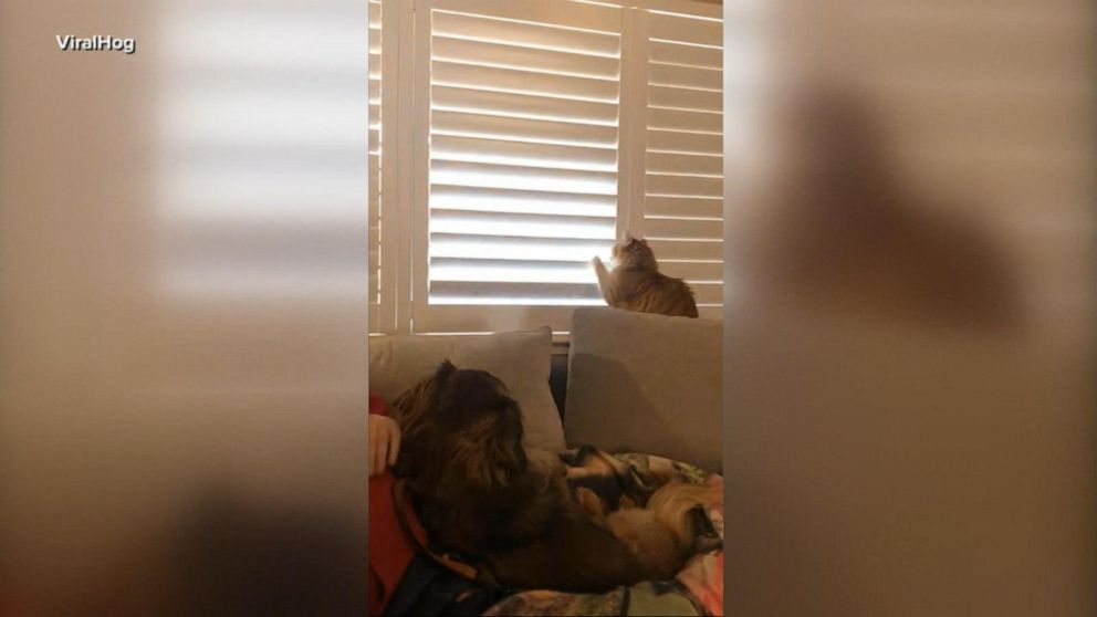 Cat Battles Owner Over Window Blinds Gma