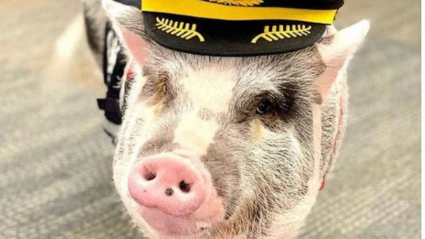 Meet the airport therapy pig hogging all the attention at San Francisco International Airport