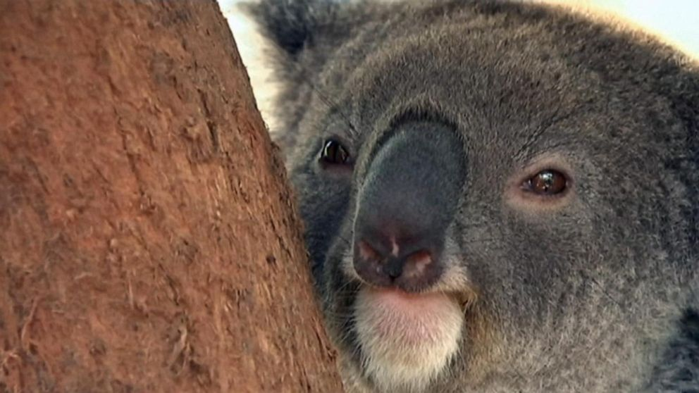 Koala rescued in dramatic viral video dies of injuries