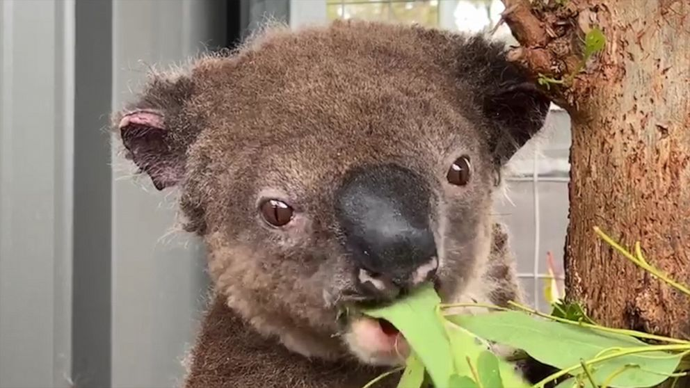 A Look At Koalas In Australian Culture Amid The Fires That Are Devastating Their Population Abc News