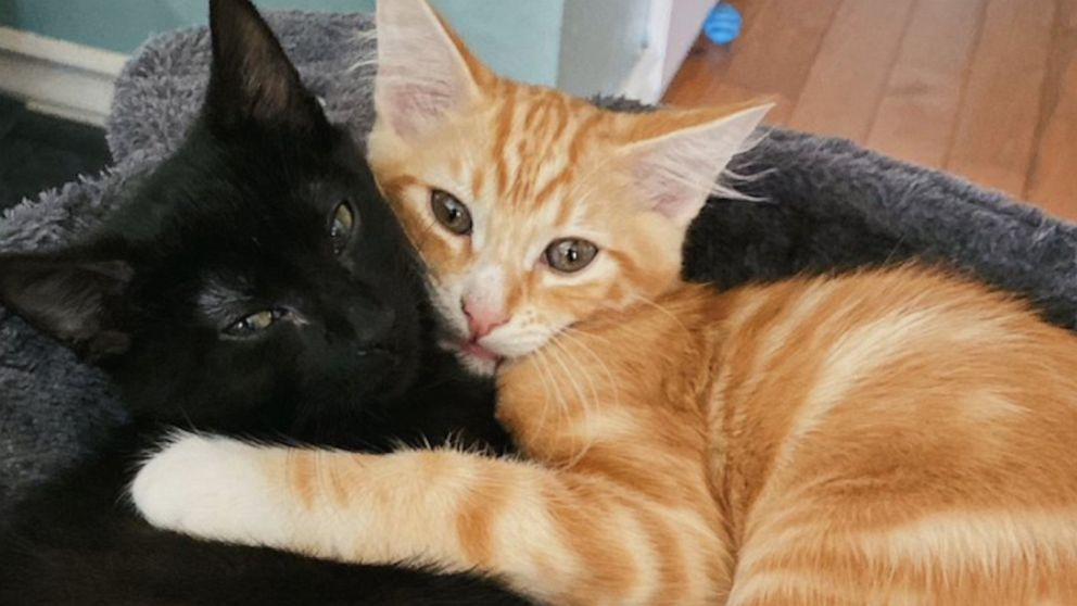 #QuarantineCats are helping people stay PAWsitive during coronavirus outbreak Video - ABC News