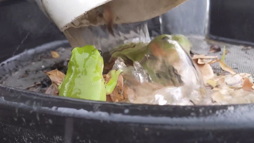 Tree frog takes a relaxing shower underneath a drainpipe