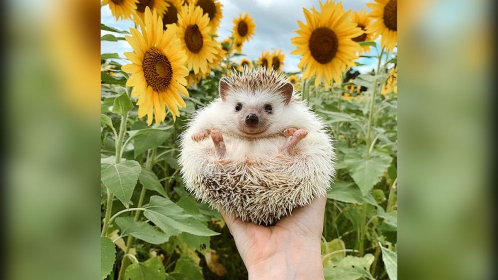 Everything you need to know before you get a hedgehog