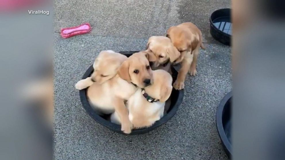 Adorable puppies try to fit in tiny bucket