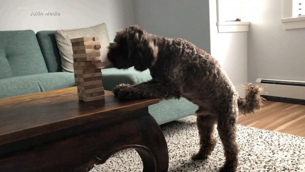 Watch this dog put his 'best paw forward' during game night