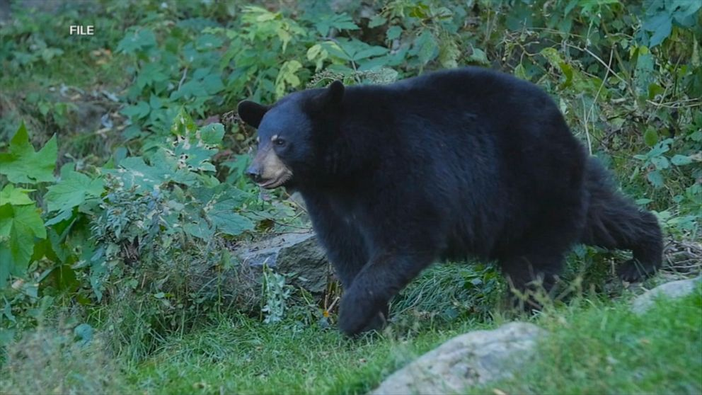 Camper rescued after bear attack near Yellowstone