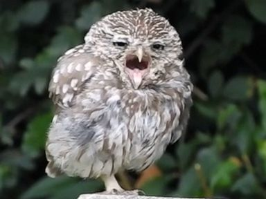 WATCH: Sleepy owl is all of us who want to hit the snooze button after a long weekend