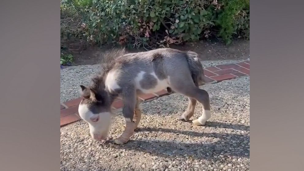 Miniature horse who was born deaf and with malformed legs learns to walk