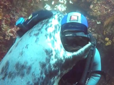 WATCH:  Diver and grey seal share 'seal-iously' cute hug