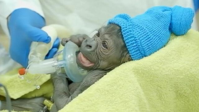 Baby Gorilla Delivered Via Rare C-Section