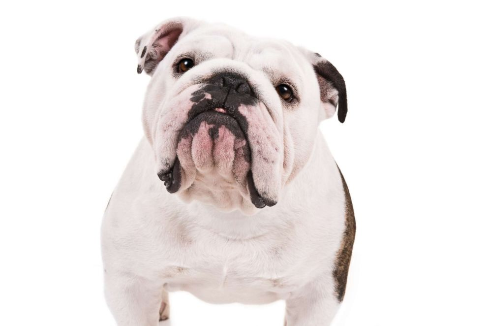 Bulldogs made the American Kennel Club's list of the top 10 most popular breeds in 2018.