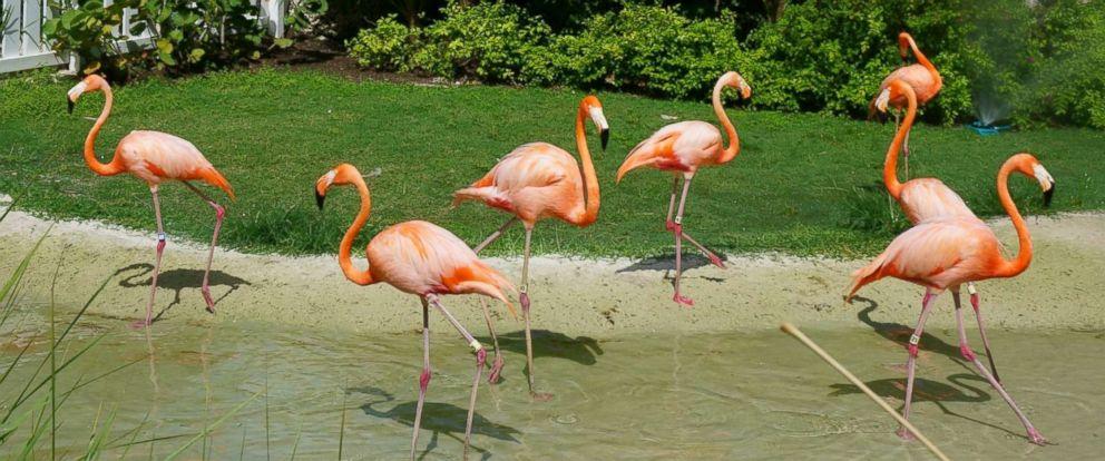 PHOTO: Flamingos at Baha Mar in the Bahamas.