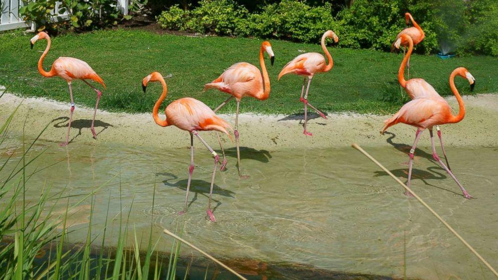 Flamingos at Baha Mar in the Bahamas.