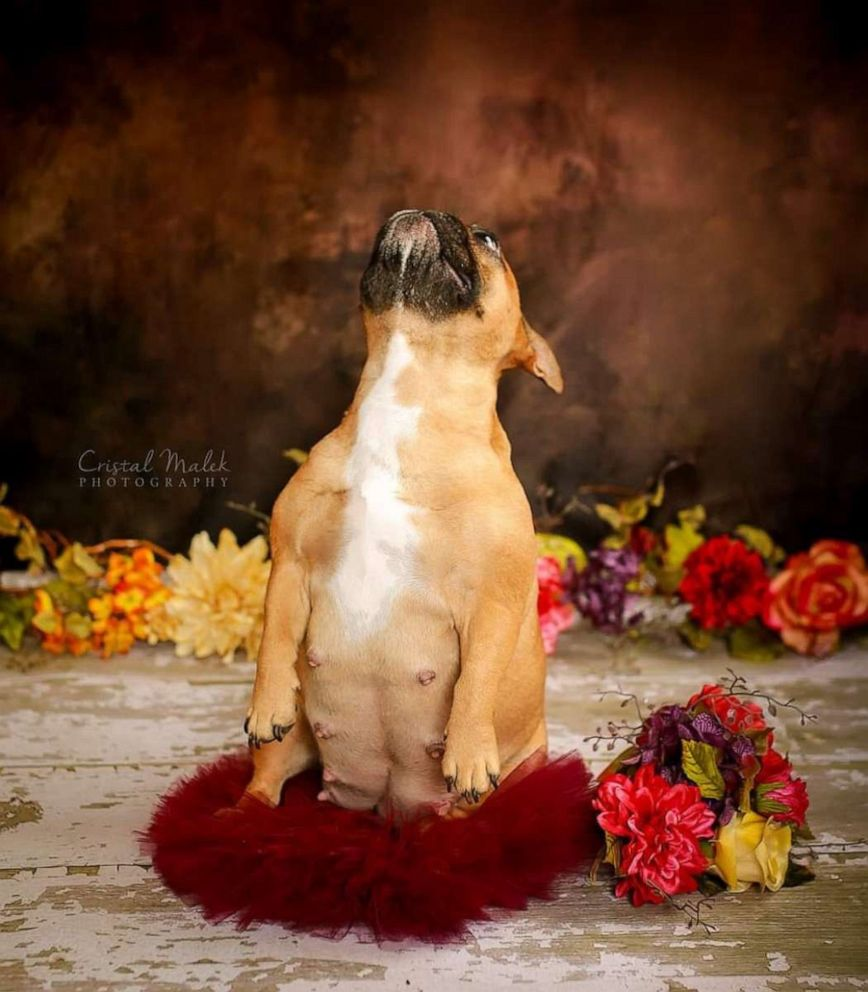 PHOTO: Cozette the bulldogs works her angles in maternity shoot.