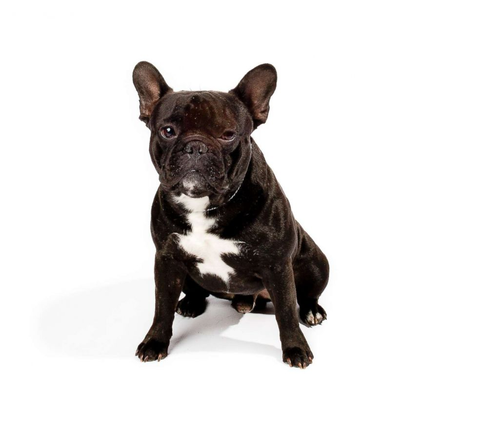 French Bulldogs made the American Kennel Club's list of the top 10 most popular breeds in 2018.
