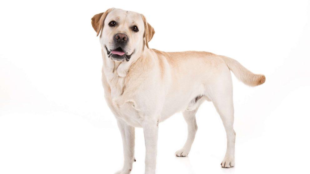 Labrador Retriever named American Kennel Club's most popular dog breed for 28th year.