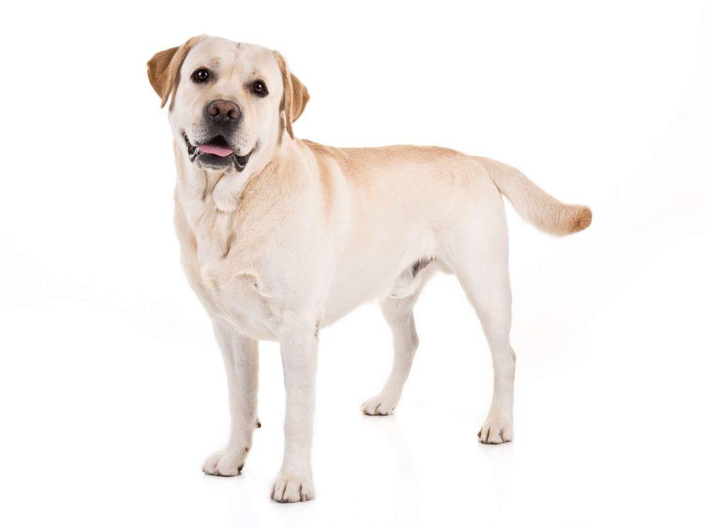 PHOTO: Labrador Retriever
