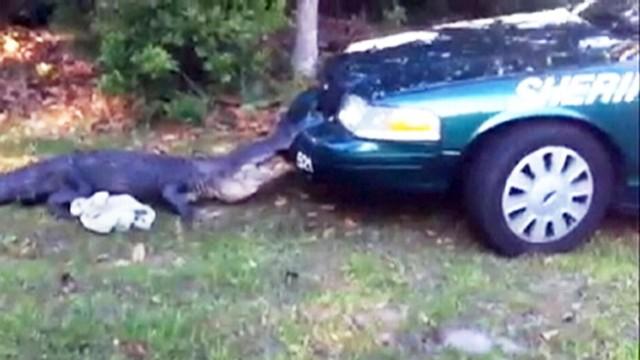 Alligator Attacks Police Car Video Abc News