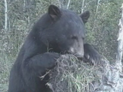 VIDEO: Aspen, Co. Being Overrun with Bears