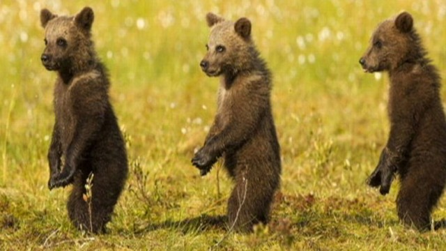 Now Playing Bear Cubs Stand At Attention Mimic Mom
