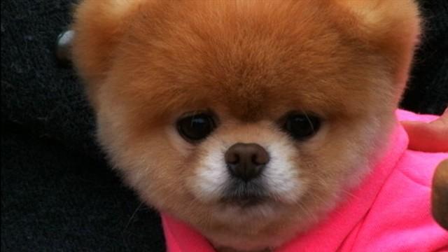 Boo S Big Vacation World S Cutest Dog Takes San Francisco