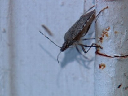 VIDEO: Twenty-nine U.S. states have now been invaded by this putrid pest.
