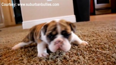 Cute Puppy Video Baby Bulldog Rolling Down Hill In Adorable Fashion