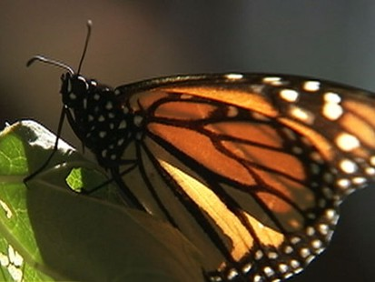 VIDEO: Scientists Concerned About Monarch Population