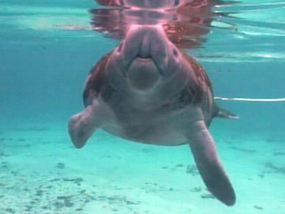 "VIDEO: The ""GMA"" anchor swims with manatees and lives his dream."