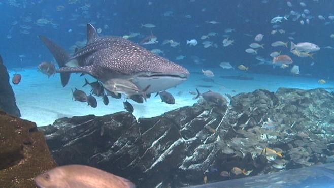 VIDEO: Sam helps Kelly Hood feed whale sharks at the Georgia Aquarium in Atlanta.