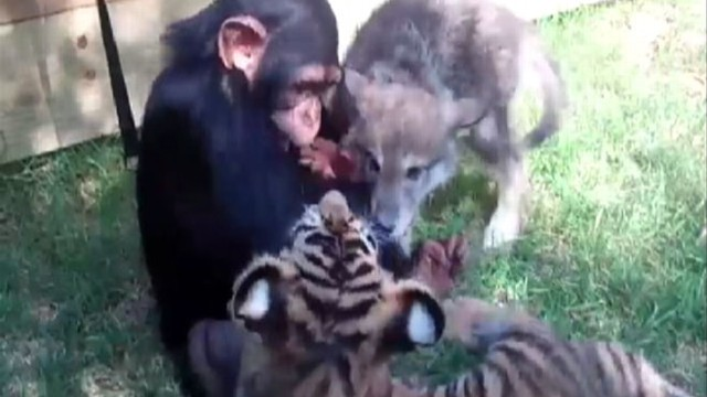 VIDEO: Adorable animal babies are caught on tape playing together at the Zoological Park in Oklahoma.