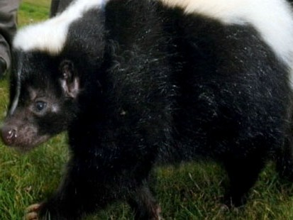 VIDEO: Bill Weir brings you unusual stories, including a bacon-loving pet skunk.