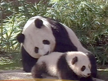 VIDEO: Should We Let the Pandas Die?