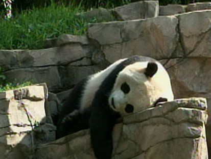 VIDEO: Giant Panda Tai Shan Will Leave the National Zoo for China Early Next Year