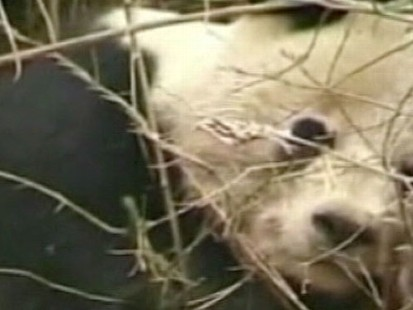 VIDEO: Villagers manage to lure the animal off the ledge with a banana.
