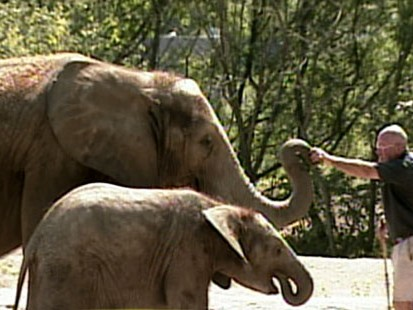 VIDEO: Elephants are trained with new method.