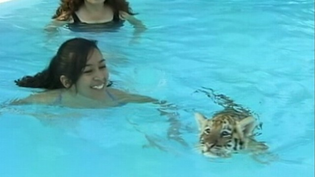 VIDEO: The sanctuary says it?s the only place on the planet where kids can swim with tigers.